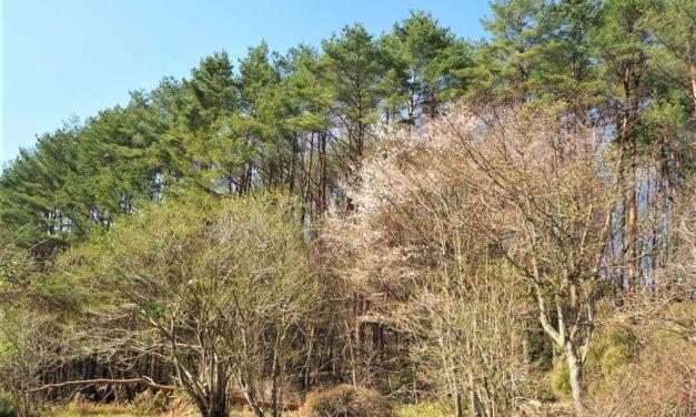 初心者の伐木 その1(低木の伐木、その教科書と現実の違い1)