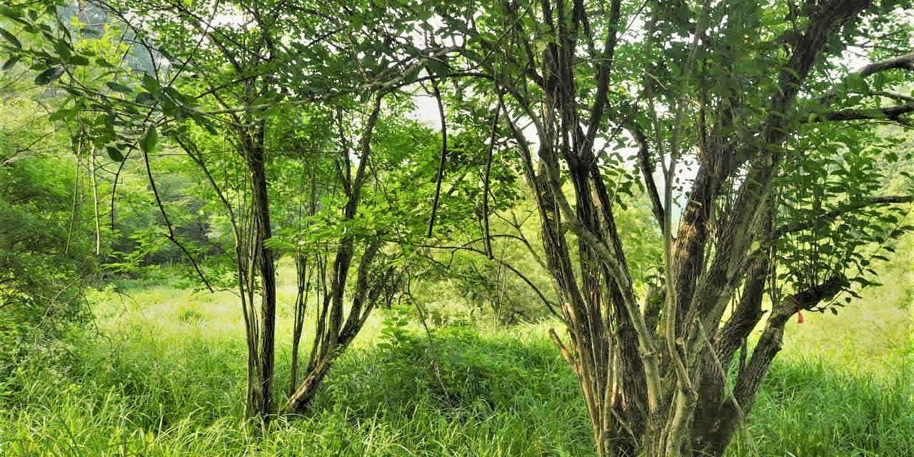 初心者の伐木 その2(低木の伐木、その教科書と現実の違い2