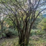 初心者の伐木 その3(低木の伐木、その教科書と現実の違い3)